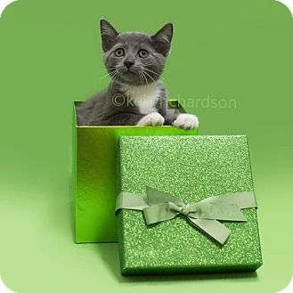 Oriental Kitten for adoption in Oviedo, Florida - Rosemary