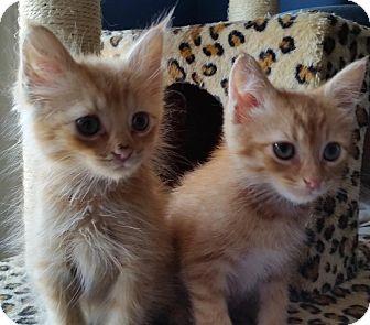 Domestic Shorthair Kitten for adoption in Arlington, Virginia - Melo &  Tigger -ADOPTED