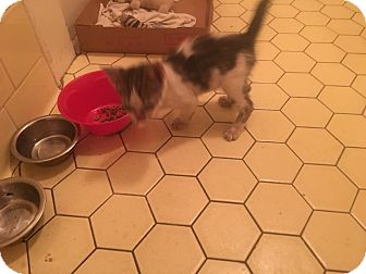 Domestic Shorthair Kitten for adoption in Williamston, North Carolina - Kitty