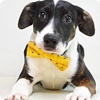 Adopt A Pet :: Andy - Dublin, CA
