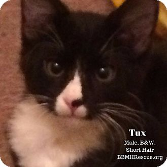 Domestic Shorthair Kitten for adoption in Temecula, California - Tux