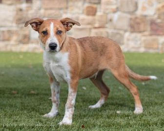 Australian Cattle Dog/Shepherd (Unknown Type) Mix Dog for adoption in Carrollton, Texas - Goofy
