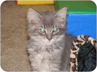 Turkish Angora Kitten for adoption in Buford, Georgia - Tweety
