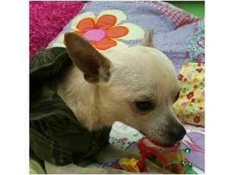 Chihuahua Mix Dog for adoption in Sugar Land, Texas - Benny