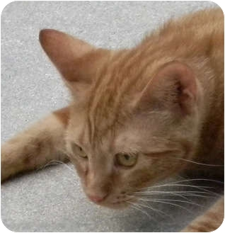 American Bobtail Cat for adoption in Naples, Florida - Daisy