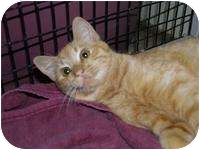 Domestic Shorthair Cat for adoption in Brooksville, Florida - Wuvikins