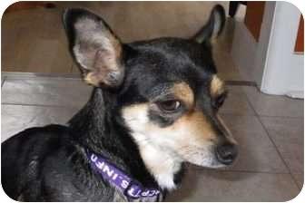 Chihuahua Mix Dog for adoption in Calgary, Alberta - Phoebe