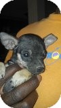 Chihuahua Mix Puppy for adoption in Las Vegas, Nevada - Twinkle -N***
