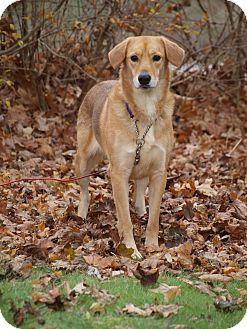 Retriever (Unknown Type) Mix Dog for adoption in Toronto/Etobicoke/GTA, Ontario - Bella - Retriever mix