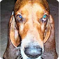 Adopt A Pet :: Orson - Phoenix, AZ