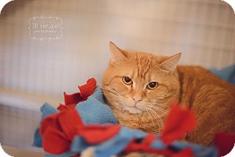 Domestic Shorthair Cat for adoption in Edwardsville, Illinois - Tiny