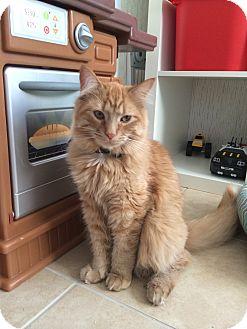 Domestic Longhair Cat for adoption in Salt Lake City, Utah - Whiskers