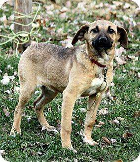 Golden Retriever/Belgian Shepherd Mix Puppy for adoption in Syracuse, New York - Madeline