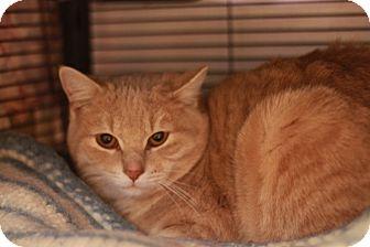 Domestic Shorthair Cat for adoption in Midland, Michigan - Lasso - BARN