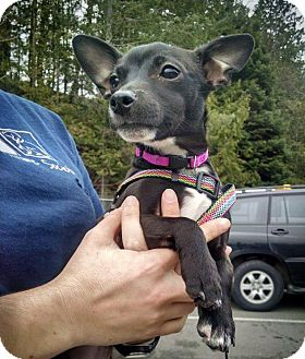 Chihuahua Mix Puppy for adoption in Bellingham, Washington - Lily