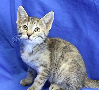 Domestic Shorthair Kitten for adoption in Winston-Salem, North Carolina - Sophia