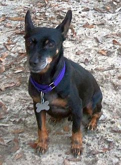 Miniature Pinscher/Chihuahua Mix Dog for adoption in Camden, South Carolina - Turbo