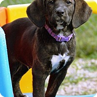 Adopt A Pet :: Chykie - Pleasant Plain, OH