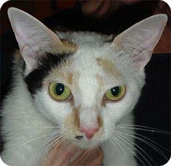 Japanese Bobtail Cat for adoption in Garland, Texas - Vivian