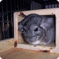Adopt A Pet :: Caitin - Avondale, LA
