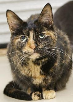 Domestic Shorthair/Domestic Shorthair Mix Cat for adoption in Morgan Hill, California - Eartha Kitt