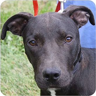 Labrador Retriever/American Staffordshire Terrier Mix Puppy for adoption in Huntley, Illinois - Al