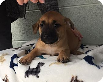 Boxer/Shepherd (Unknown Type) Mix Puppy for adoption in Spring Valley, New York - Margarita