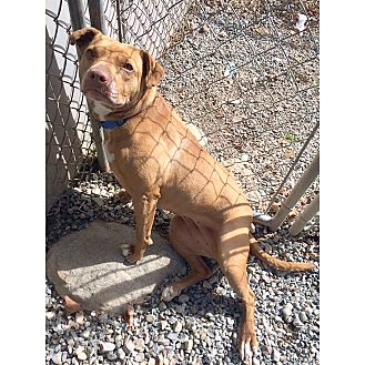 Pit Bull Terrier/Terrier (Unknown Type, Medium) Mix Dog for adoption in Monroe, Connecticut - Jasmine