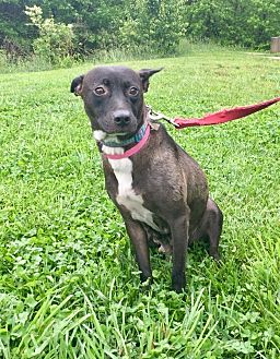 Pit Bull Terrier Mix Dog for adoption in Waldorf, Maryland - Zada