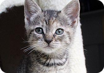 Domestic Shorthair Kitten for adoption in Wayne, New Jersey - Keiko