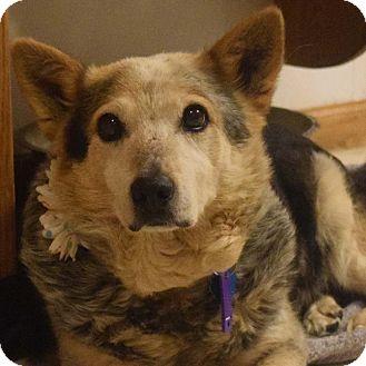 Cattle Dog/Corgi Mix Dog for adoption in Minneapolis, Minnesota - Magic
