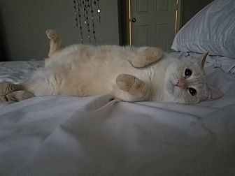 Siamese Cat for adoption in Fort Worth, Texas - Ellie