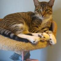Domestic Shorthair/Domestic Shorthair Mix Cat for adoption in Fond du Lac, Wisconsin - Aspen