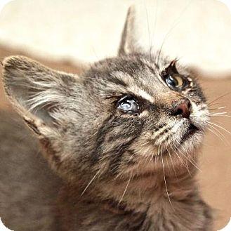 Domestic Shorthair Cat for adoption in San Francisco, California - Wilson