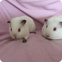Adopt A Pet :: Sugar & Henrietta - South Bend, IN