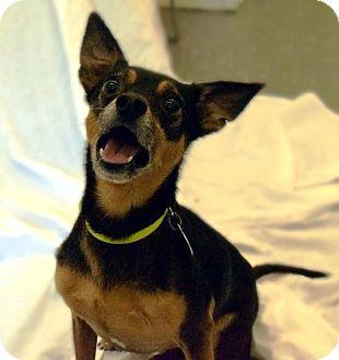 Miniature Pinscher Mix Dog for adoption in Kalamazoo, Michigan - Emmett