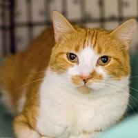 Domestic Shorthair/Domestic Shorthair Mix Cat for adoption in Independence, Missouri - Caramel