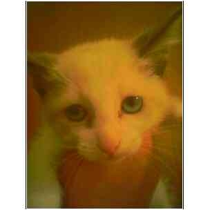 Ragdoll Kitten for adoption in Owasso, Oklahoma - Rags