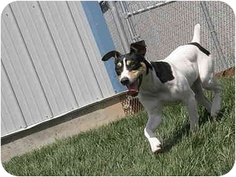 Rat Terrier Dog for adoption in Meridian, Idaho - Bear