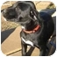 Photo 2 - Labrador Retriever Mix Puppy for adoption in Wake Forest, North Carolina - Pearl