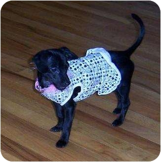 Chihuahua/Dachshund Mix Puppy for adoption in Homer, New York - Chenelle