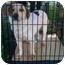 Photo 1 - Australian Shepherd/Cattle Dog Mix Dog for adoption in Fowler, California - Felix