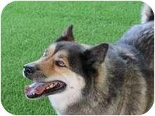 Husky/German Shepherd Dog Mix Dog for adoption in Odessa, Florida - PEPPER