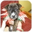 Photo 1 - American Pit Bull Terrier Mix Puppy for adoption in Rockingham, North Carolina - Piper