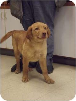 Golden Retriever/Labrador Retriever Mix Puppy for adoption in Defiance, Ohio - Bart