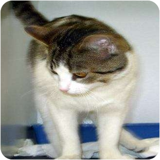 Domestic Shorthair Cat for adoption in Mt. Vernon, Illinois - Tucker