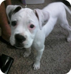 Boxer/English Bulldog Mix Puppy for adoption in Ogden, Utah - Rascal