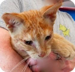 Domestic Shorthair Kitten for adoption in Warren, Michigan - Oahu
