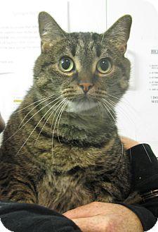 Domestic Shorthair Cat for adoption in Saanichton, British Columbia - Coca