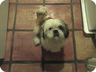 Shih Tzu Dog for adoption in Newbury Park, California - Shaggy